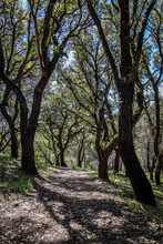 Wide Dirt Path Heads Between Large Mature Oak Trees With Fresh New Leaves At Sugarloaf Ridge State Park