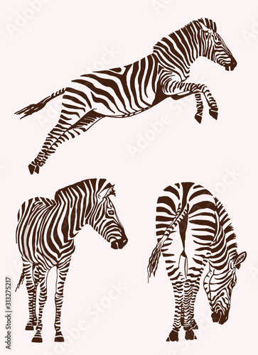Fotomural Graphical vintage set of zebras , vector illustration, elements for design