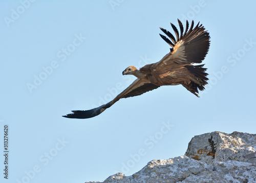 Griffon Vulture - Gyps fulvus, Crete Canvas Print
