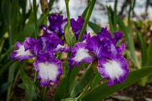 Trio Of Purple And White Veined Bearded Iris With Dark Green Leaves Behind