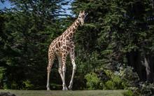 Giraffe Walks Across From Left...