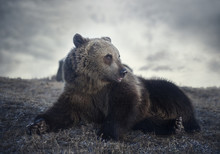 Brown Bear In Cloudy Weather