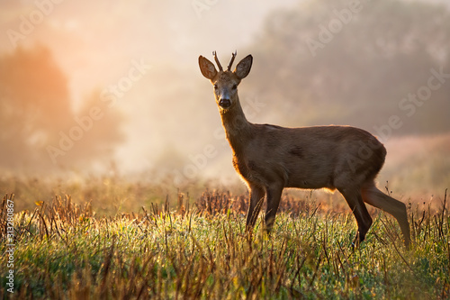 Stampa su Tela Curious roe deer, capreolus capreolus, buck standing on a stubble field at sunrise in summer