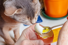 Abyssinian Cat Sniffs Boiled Chicken Egg With Liquid Yolk On The Teaspoon In The Woman Hands