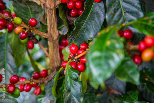 Coffee beans ripening on tree in Costa Rica. Fototapet