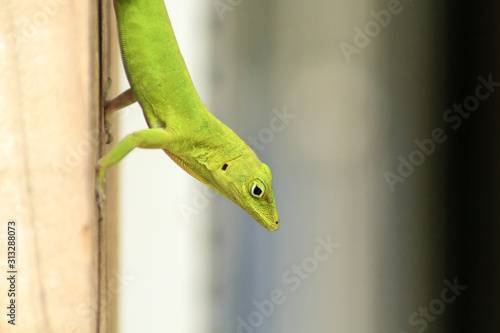 Photo Puertor Rican emerald anole