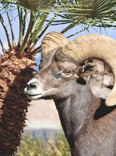 Wild Arizona Bighorn Sheep