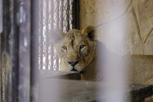 Carta da parati The face of a captive lion