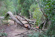 Fallen Tree In The Park After ...