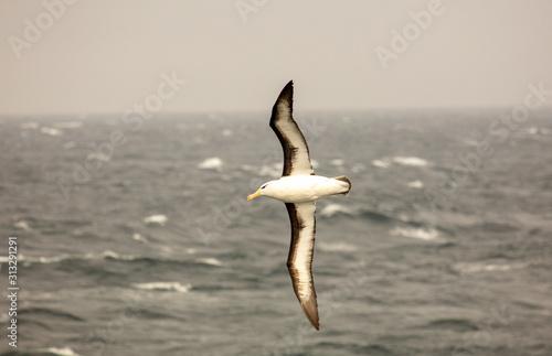Fotografia, Obraz Black-browed albatross soaring over Southern Ocean
