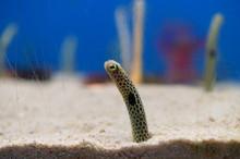 Spotted Garden Eel In The Aqua...