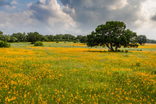 Field Of Yellow Texas Wildflowers