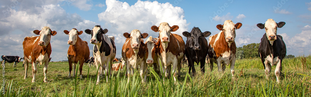 Fototapeta Group of cows stand upright on the edge of a meadow in a pasture, a panoramic wide view