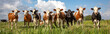 Leinwandbild Motiv Group of cows stand upright on the edge of a meadow in a pasture, a panoramic wide view