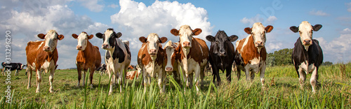 Fotografie, Tablou Group of cows stand upright on the edge of a meadow in a pasture, a panoramic wi