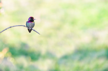 Anna's Hummingbird Perched On Branch