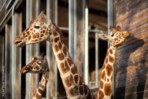 Photo Giraffes in Copenhagen Zoo