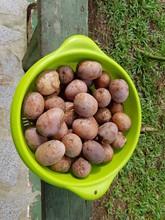 Uxi (Endopleura Uchi (Huber) Cuatrec, Humiriaceae Family. Amazon Rainforest,  Brazil