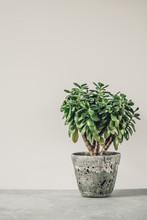 Houseplant Crassula Ovata Jade...