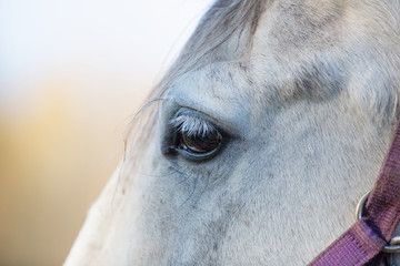 eye of a gray horse close up