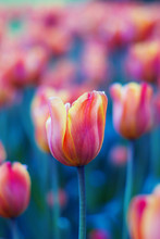 Red, Orange And Yellow Tulip Flowers Close-up On Blurred Background Of Tulips. Bright Tulip Field In Spring. Colorful Landscape. Natural Soft Background For Design, Free Space For Text