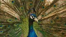 Closeup Of Majestic Male Peaco...