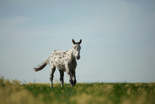 Spotted Foal Stay On A Field O...