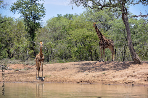 Baby giraffe with adult near watering hole in South Africa
