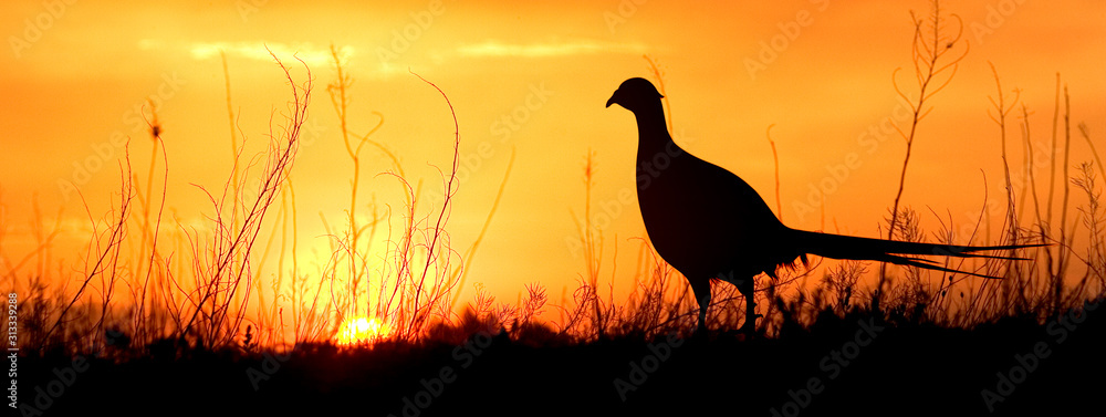 Fototapeta A silhouette of a male ring-necked pheasant against an evening sunset.