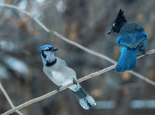 Eastern Blue Jay And Stellers Jay In A Stare-down Standoff In Idaho