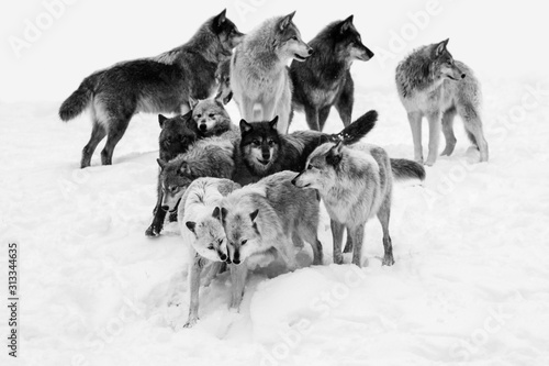 Obraz Wolf pack in winter - fototapety do salonu