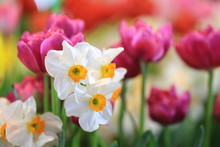 White Narcissus Daffodil And P...