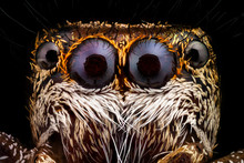 Portrait Of A Jumping Spider M...
