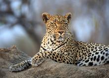 Leopard, Panthera Pardus, Port...