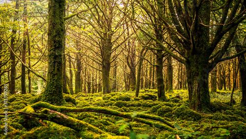 Muckross Forest