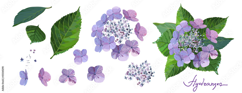 Fototapeta Set of purple hydrangea flowers with bud, stems and leaves on white background.