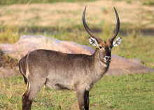 Common Waterbuck, Kobus Ellipsiprymnus, Standing In Grass Near Rocks.