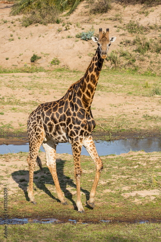 Giraffe, Giraffa camelopardalis, walking near small streams. Canvas Print