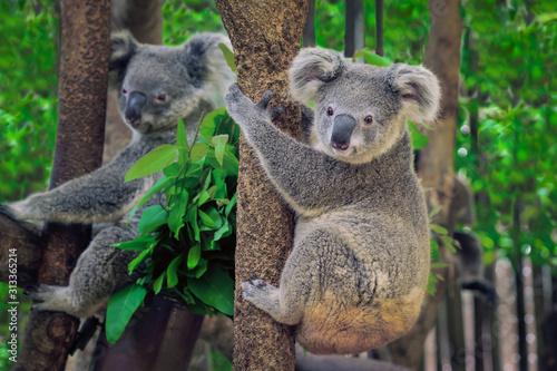 Photo A cute coala.