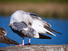 Seagulls At Lake Merced