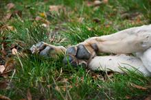 Paws Of A Labrador Dog. Close Up Of Paw Pads