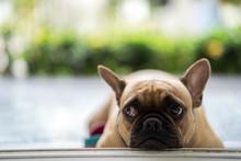 Funny French Bulldog Lying At ...