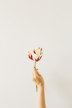 Woman Hand Hold Tulip Flower O...