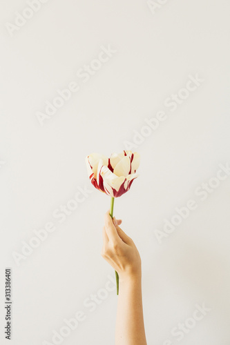 Woman hand hold tulip flower on white background Wallpaper Mural