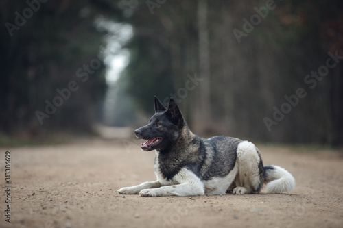 Photo portrait of young american akita dog lies on the road in daytime in autumn
