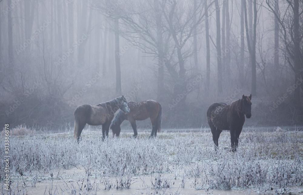 Fototapeta Wild horses in forest on cold winter morning