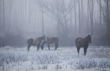 Wild Horses In Forest On Cold ...