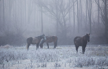 Wild horses in forest on cold winter morning