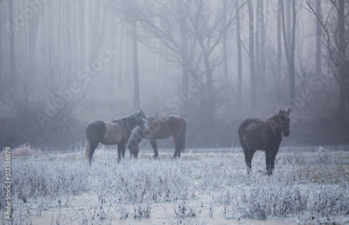 Fototapeta Wild horses in forest on cold winter morning obraz