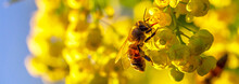 Honey Bee Pollinates Yellow Flowers Barberry In The Garden On Background Of Blue Sky. Nature In Spring. Panoramic Banner.